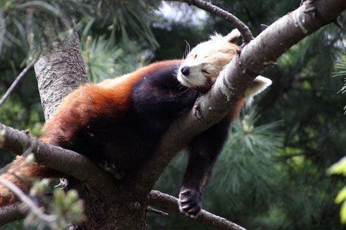 Красная панда (14 фото)