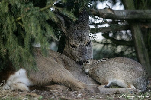 Дружба оленя и кролика (7 фото)