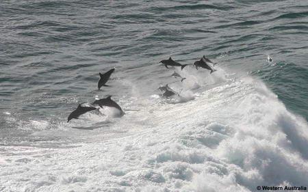 Дельфины - серферы (3 фото)