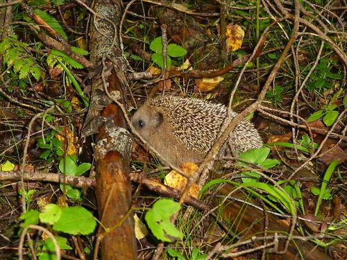 Ёжик в лесу (6 фото)