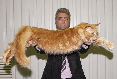 Мейн Кун или американская енотовая кошка, самая крупная порода домашних кошек в мире
