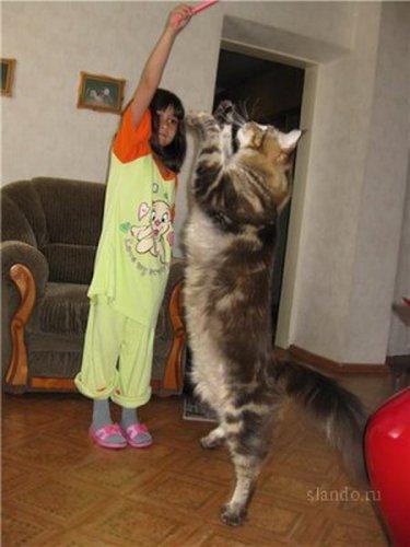 Достоинства кошки мейн кун.  Очень умна.  Вынослива.