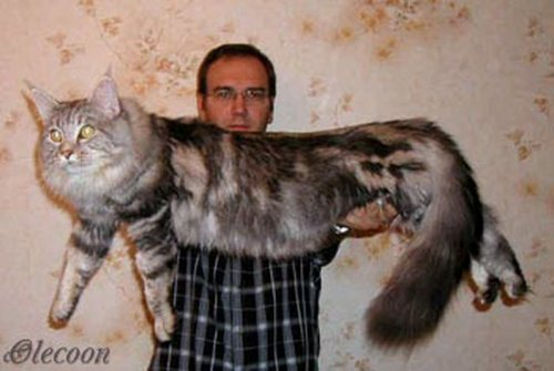 Порода кота у павла воли