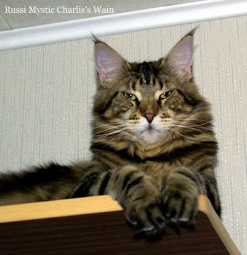Кот в образе человека то это мэйн кун