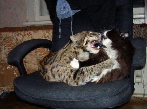 Виверровая кошка или кот-рыболов