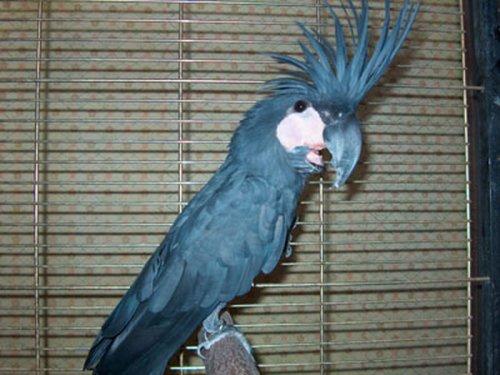 Черный Какаду