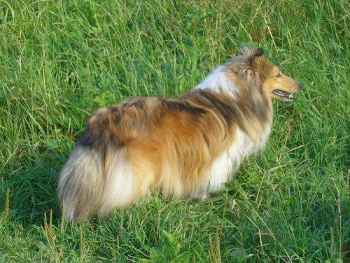 Шотландская овчарка, колли