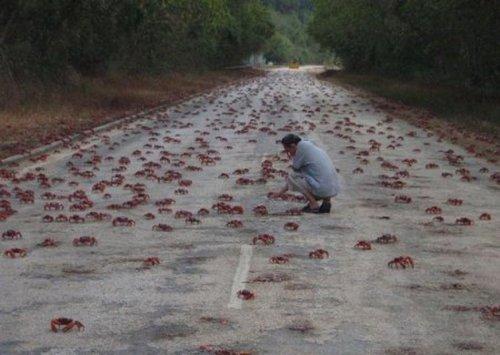 Миграция красного краба