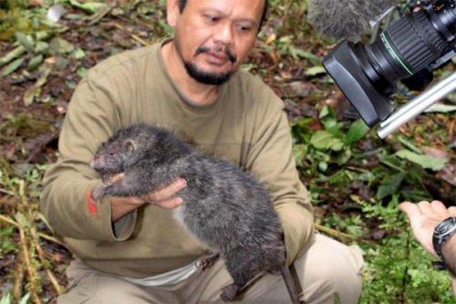 Гигантские крысы
