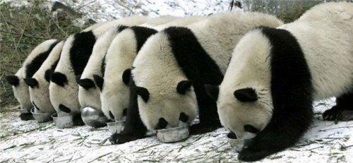 Эти милые панды (18 фото)