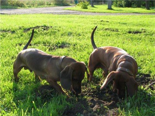 Наши собаки Лойд и Дракоша(Форвард Ред)