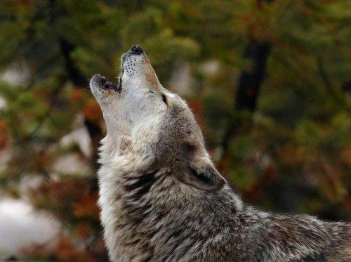 Волки (20 фото)