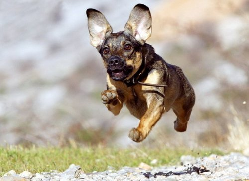 Летящие собаки (12 фото)
