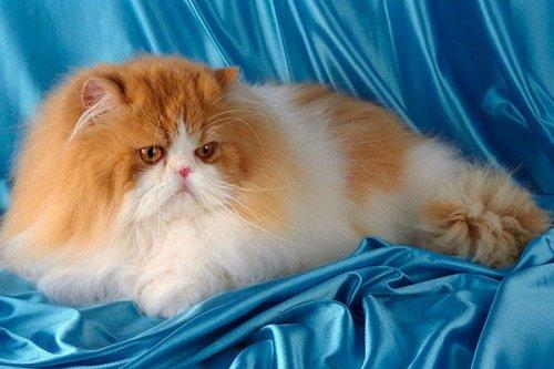 Самая популярная порода кошек - персидская