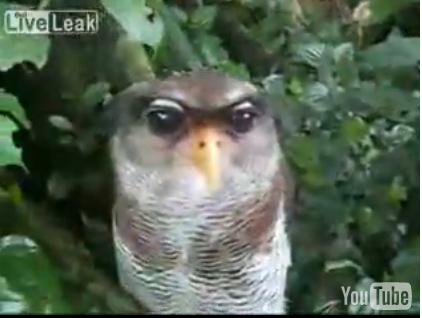 Филин с большими бездонными глазами (видео)