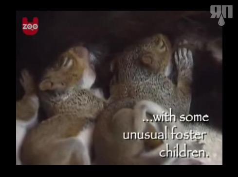 Кошка стала мамой у бельчат (видео)
