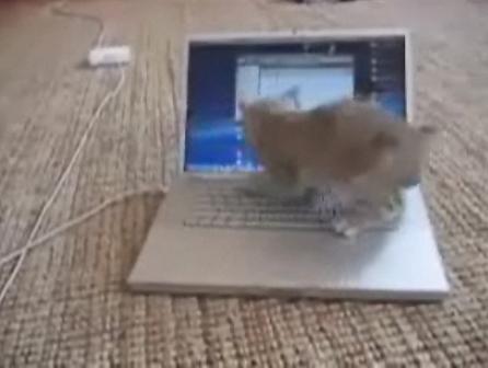 Котёнок против ноутбука (видео)