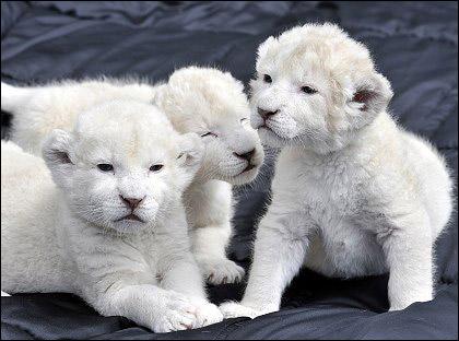 В английском заповеднике родились три белых льва