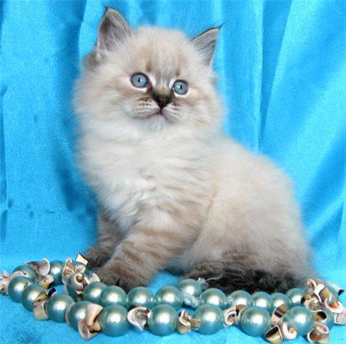 Кошки → невская маскарадная кошка 14