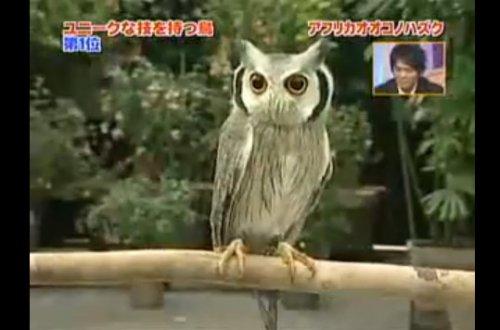 Смешная сова (видео)