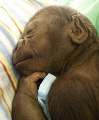 Маленькая горилла (34 фото)