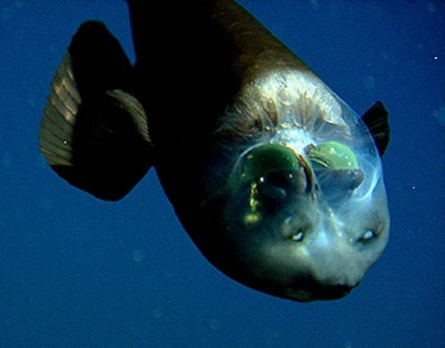 Рыба с прозрачной головой (фото и видео)