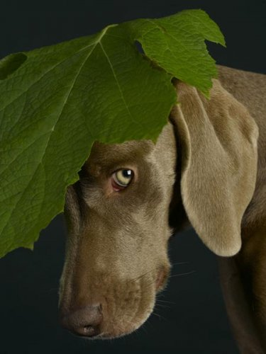Галерея: William Wegman