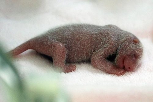 Детёныши панды (6 фото)