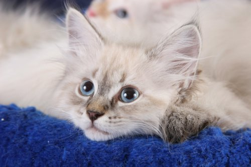 Невская маскарадная кошка (14 фото)