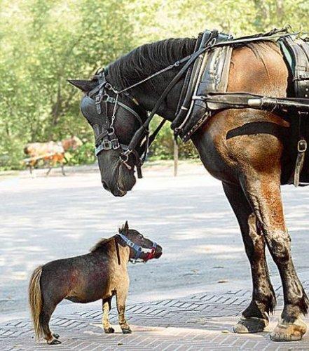 Самая маленькая лошадка (5 фото)