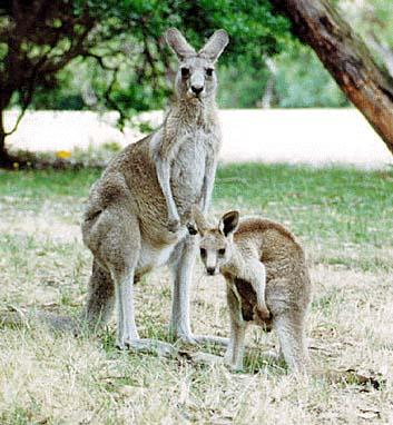 Люди и кенгуру выглядели одинаково 150 млн лет назад