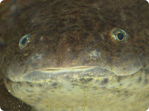 Аксолотль – личинка с улыбкой! (11 фото)