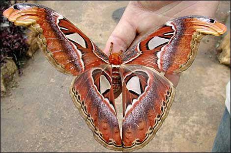 Самая большая в мире бабочка (10 фото)