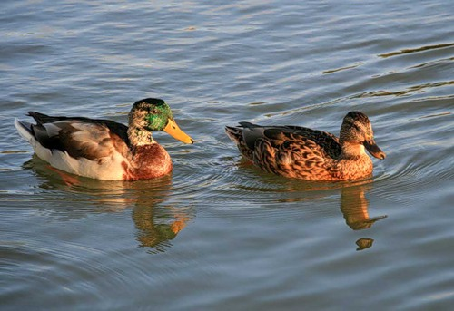 Водоплавающие птицы (23 фото)
