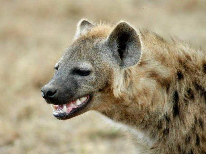 картинки гиена улыбается хостинском