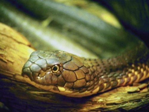Top 10: Самые ядовитые змеи мира