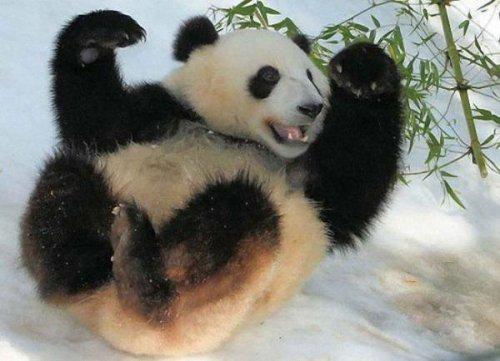 Веселая панда (6 фото)