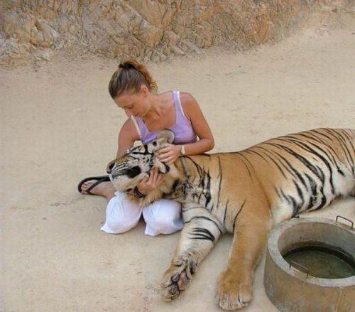 Ручные тигры (13 фото)