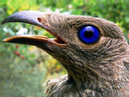 Шалашники - удивительные птицы (6 фото)