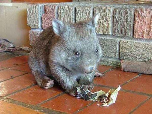 Детеныши австралийских животных (29 фото)