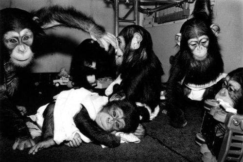 Одомашненные обезьяны (10 фото)