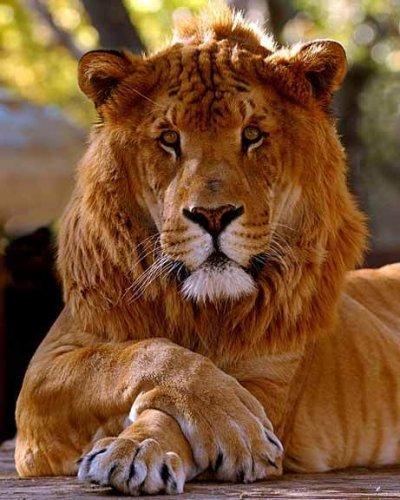 Большие кошки (28 фото)