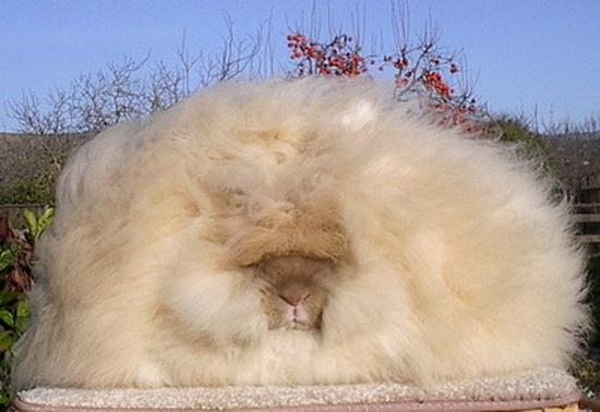 Милые пушистики ангорские кролики 31