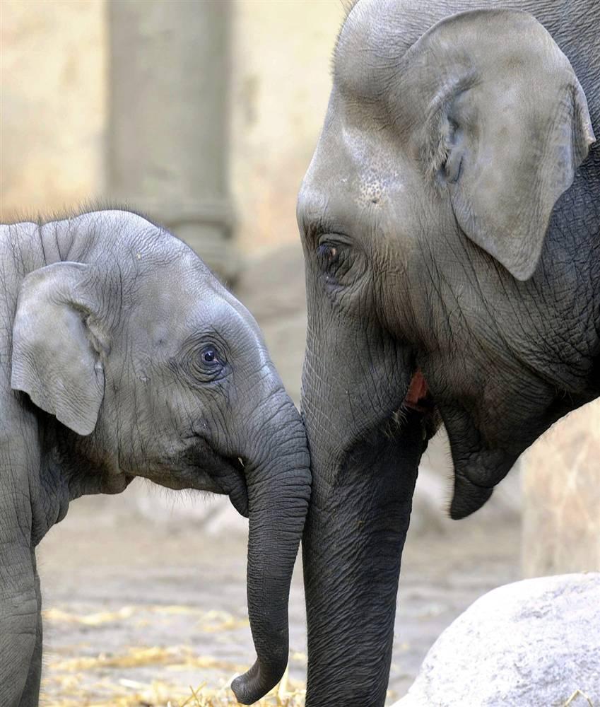 два слоненка картинка его обусловлены