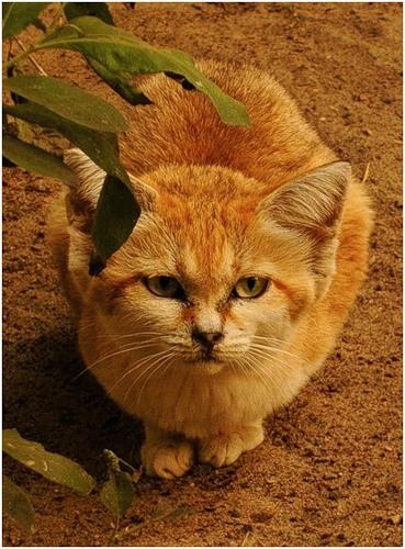 Барханная кошка (11 фото)