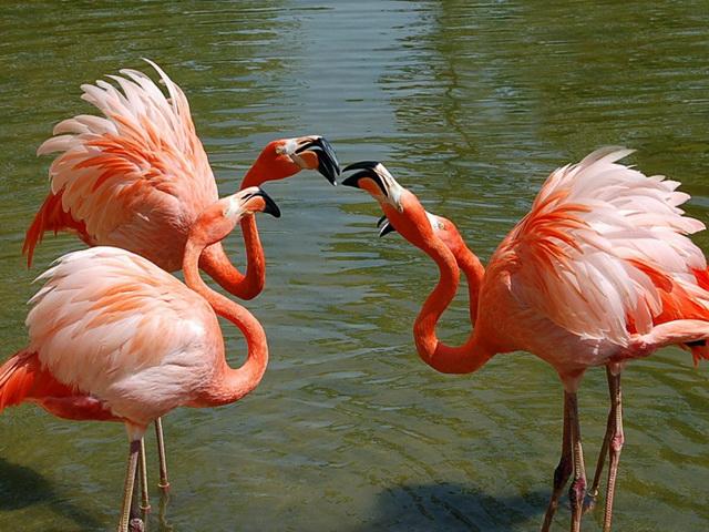 Вопрос классификации фламинго на протяжении многих лет являлся предметом споров специалистов.
