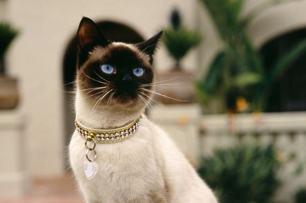 http://klopik.com/uploads/posts/2009-12/1261079678_normal_cats_-_exotic_-_siamese_cat_592151.jpg