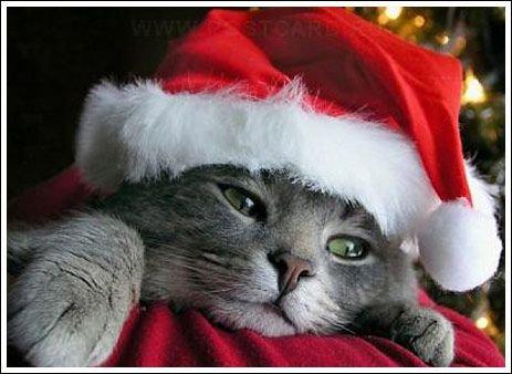 Рождественские коты (15 фото)