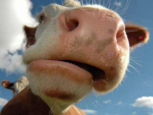В Тартумаа родился теленок с двумя головами