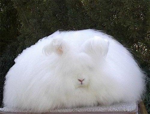 Милые пушистики - ангорские кролики (31 фото)